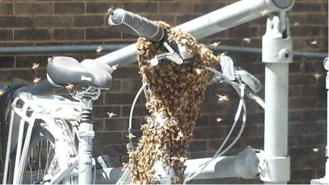 Swarm of bees on bicycle